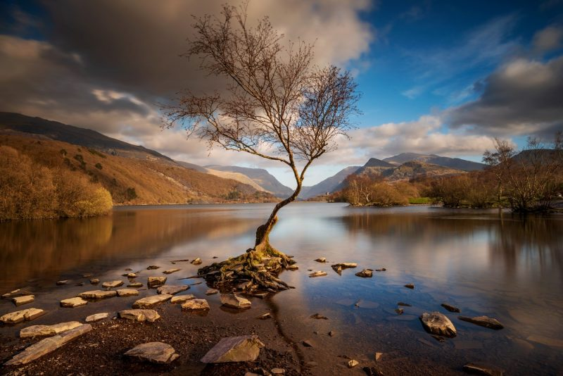 Lone Tree Llyn Padarn Llanberis canvas prints wall art for sale