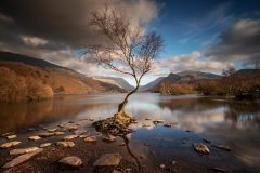 Lone Tree Llyn Padarn Llanberis North Wales /canva sprints for sale