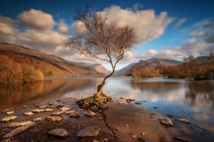 Lone Tree Llyn Padarn Llanberis North Wales /canva sprints for sale